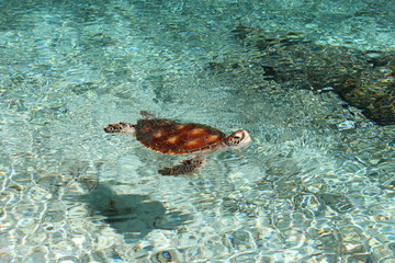 Tortue hors de l'eau 2 - Turtle in water - french polynesia