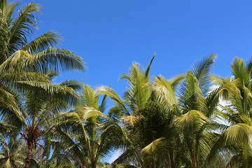 Cocotier Huahine - french polynesia coconut - palm tree