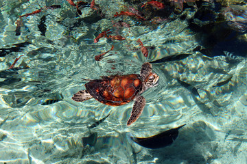 Tortue hors de l'eau - Turtle in water - french polynesia
