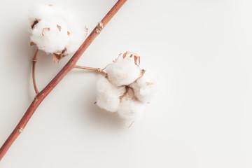 Cotton plant flower branch on white background