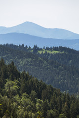 Carpathian mountains covered in pine forest