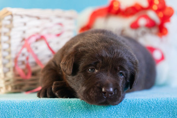 Sad labrador puppy lies on a blue background, close-up