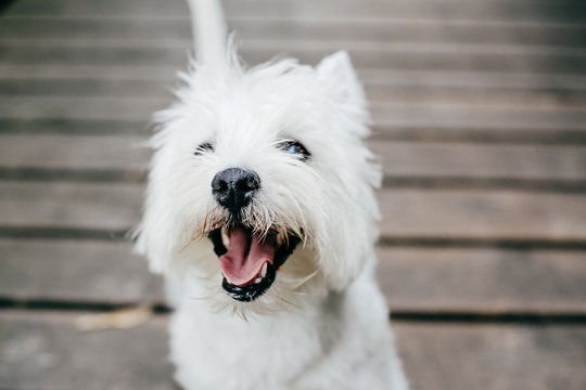 Cute West Highland White Terrier playing on a wooden floor in a park. Outdoors portrait of a pet.