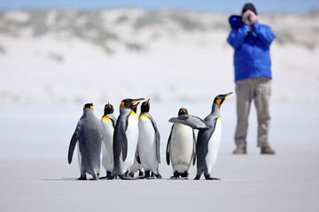 Photographer with Group of penguin. King penguins, Aptenodytes patagonicus, going from white snow to sea in Falkland Islands. Penguins in the snow. Group of penguins in Antartica. Travel with penguins
