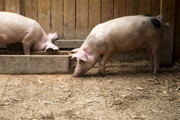 Two clean pink domestic pigs in the stable