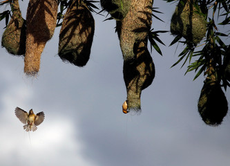Weaver birds build a nest on a bamboo tree in Lalitpur