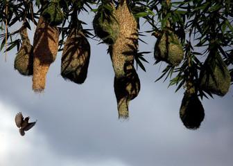 A weaver bird flies near the nest built on a bamboo tree in Lalitpur