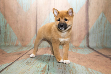 Shiba Inu on patterned background