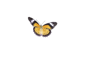 Leopard Lacewing Butterfly isolated on white background