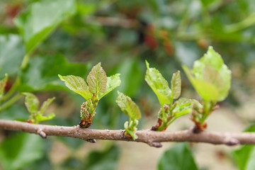 Row of young mulberry leaf.