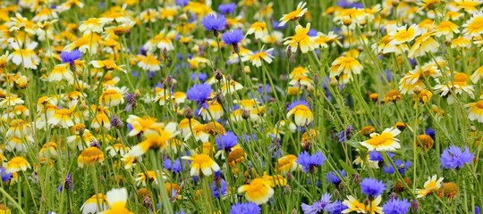 Beautiful field with blue cornflowers and yellow daisies