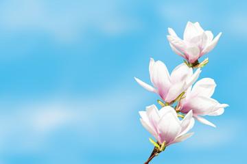 magnolie na niebieskim niebie