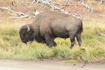 Fotoväggar - American Bison (Buffalo)