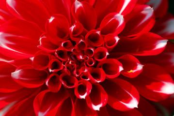 Poster de jardin Dahlia Red White Dahlia Flower