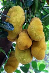 green ripe Jack fruit