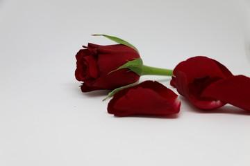 rose im studio