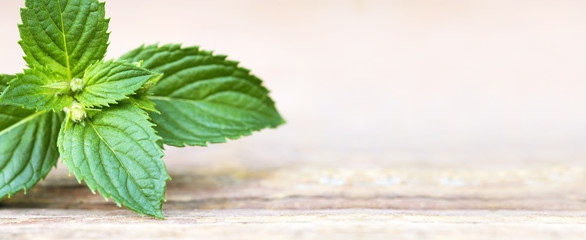 Web banner of fresh herbal green mint leaves with copy space