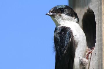 Fotoväggar - Tree Swallow
