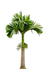 Macarthurs Palm isolated