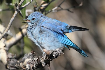 Fotoväggar - Mountain Bluebird (Sialia currucoides)