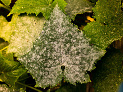 white powdery mildew on cucumber plant