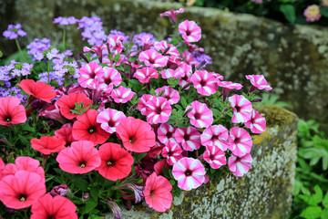 Im Bauerngarten: Blühende Malven in einer alten Viehtränke aus Stein