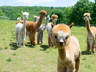 Group of Alpacas on a Farm
