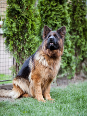 A long-haired German shepherd poses in the yard