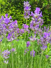 Bed of lavender