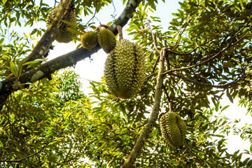 Big durian on the tree orchard