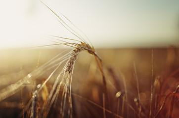 Getreidefeld bei Sonnenuntergang