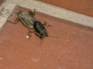 Mole cricket in a farm