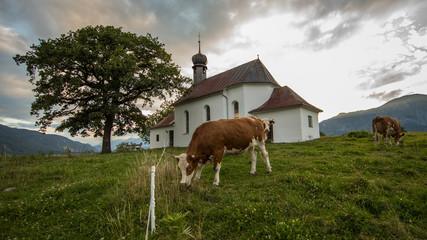 Kuh weidet bei Grattenbergl in Tirol