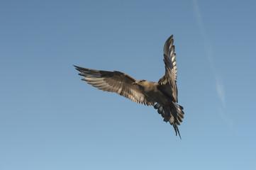 Arctic Skua in flight.