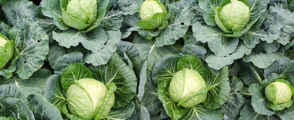 Panoramic image of cabbage on vegetable garden