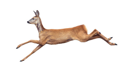 Jump of the Roe Deer isolated on white.