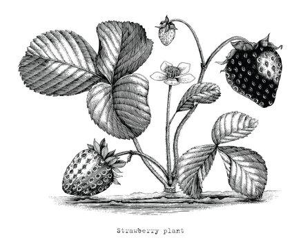 Strawberry plant botanical vintage illustration