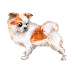 Chihuahua dog is red and white isolated on white background. Watercolor. Template. Image. Picture