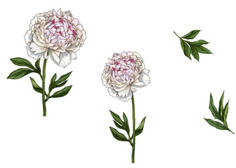 Set with gently pink peony flowers, leaves and stems isolated on white background. Botanical vector illustration