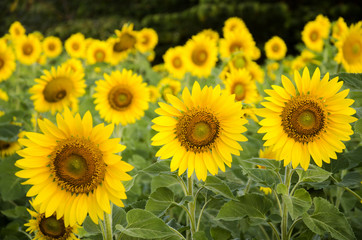 Sunflower plant on field