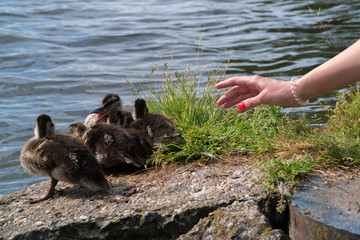 The girl is trying to stroke the ducklings. A woman's hand reaches out to the ducklings