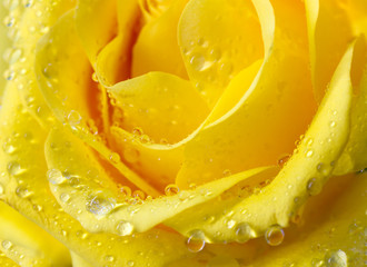 Poster de jardin Tranches de fruits Close-up view of beatiful yellow rose with water drops