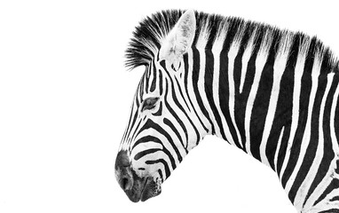 Wall Murals Zebra Zebra high key