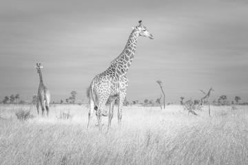 Giraffes in B&W