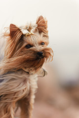 Little yorkshire terrier on the stones