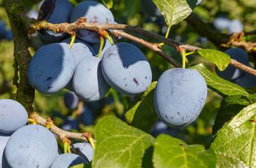 Pflaumen - Prunus Domestica