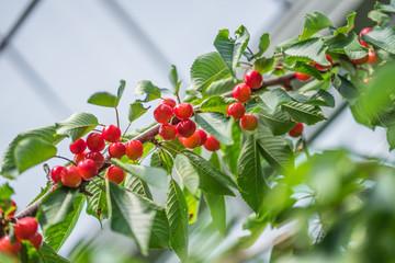 Red Cherry branches at Hokkaido