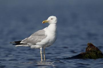 Caspian gull, Larus cachinnans