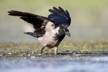 Hooded crow, Corvus corone cornix