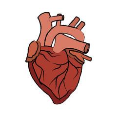 human heart medical anatomical artery